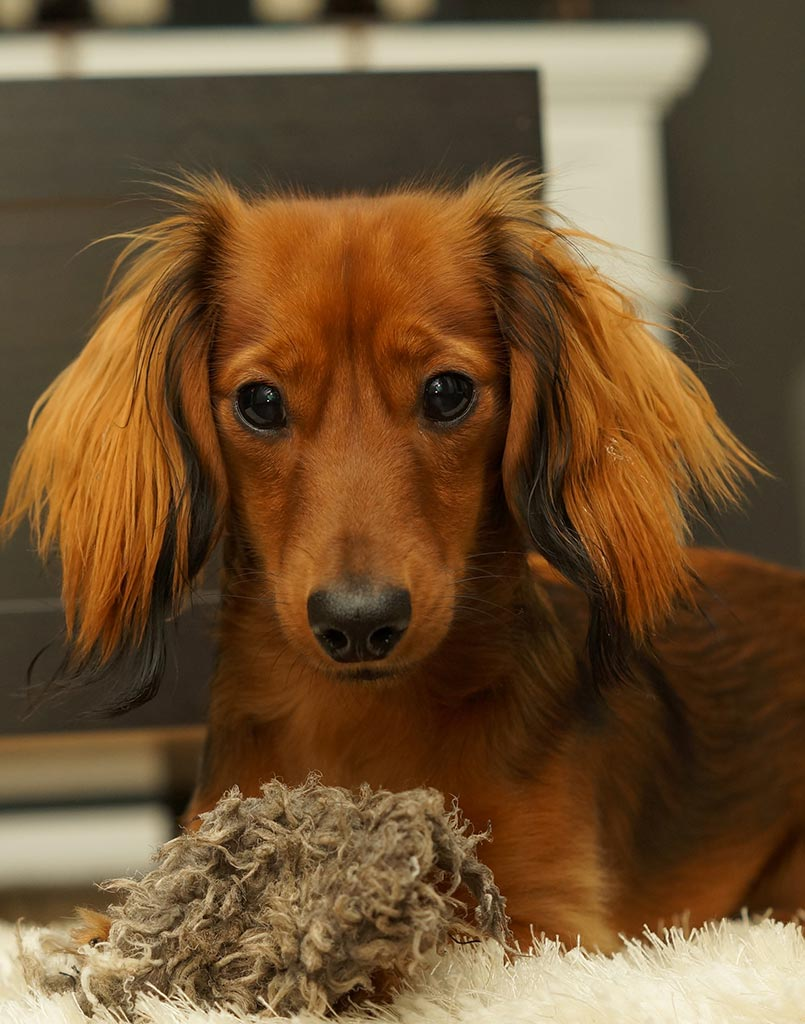 Wiener Dog Dashpig