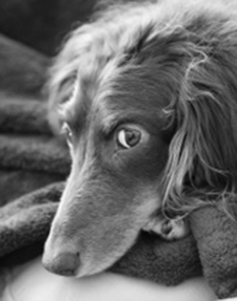 Wiener Dog Dexter