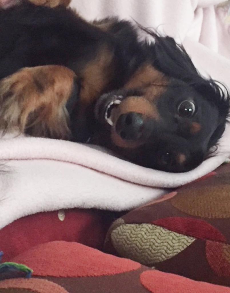 Wiener Dog Dominic