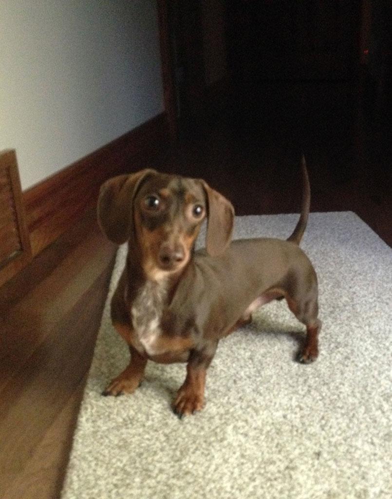 Wiener Dog Hershey