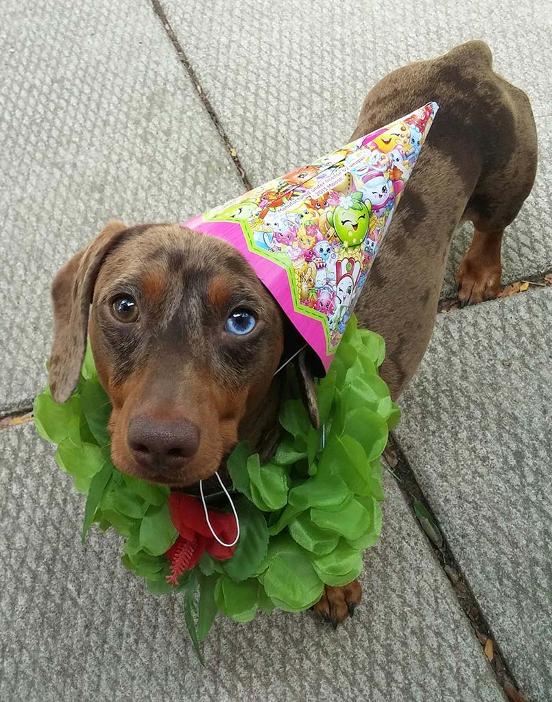 Wiener Dog Pedro